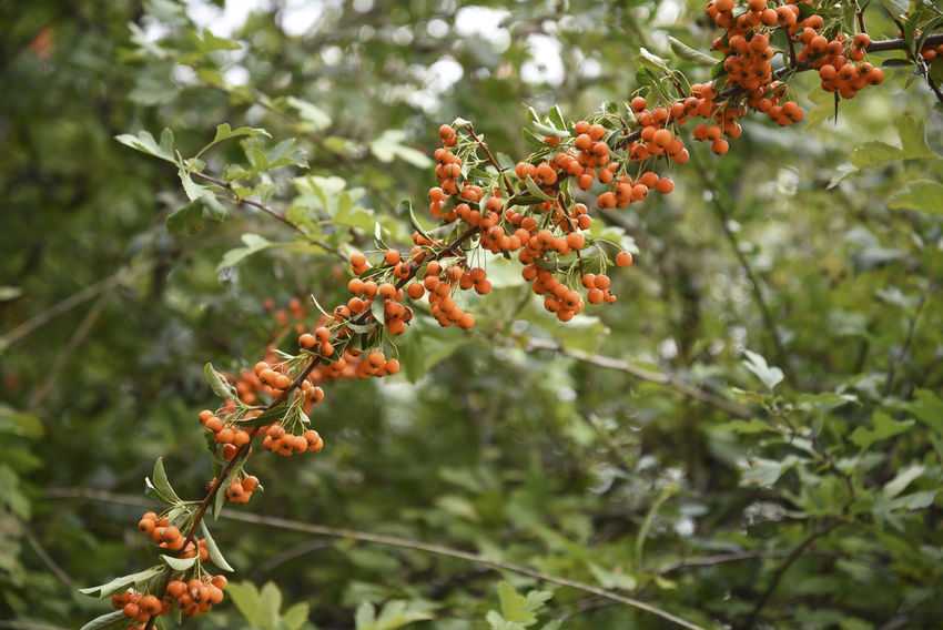 Berries Copy Space Firethorn Orange Beauty In Nature Botany Branch Day Decorative Foliage Fruits Garden Green Color Growth Hedge Leaf Nature No People Outdoors Park Plant Plant Part Pyracantha Coccinea Shrub Thorn