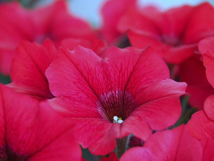 Backgrounds Balcony Beauty In Nature Close-up Day Flower Flower Collection Flower Head Flowering Plant Fragility Freshness Full Frame Growth Inflorescence Nature No People Petal Petunia Flowers Petunias Pink Color Plant Pollen Red Selective Focus Vulnerability