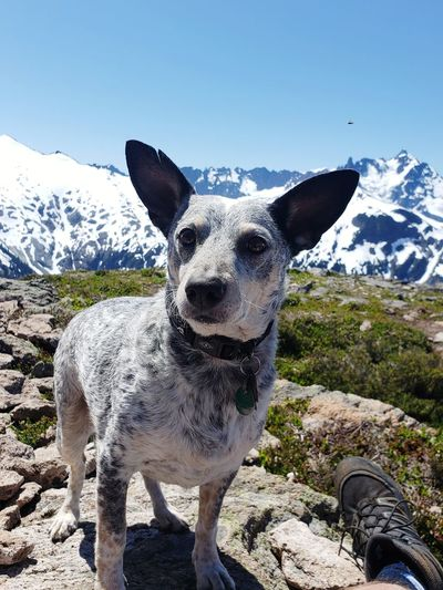 Portrait of dog standing on snow covered mountain