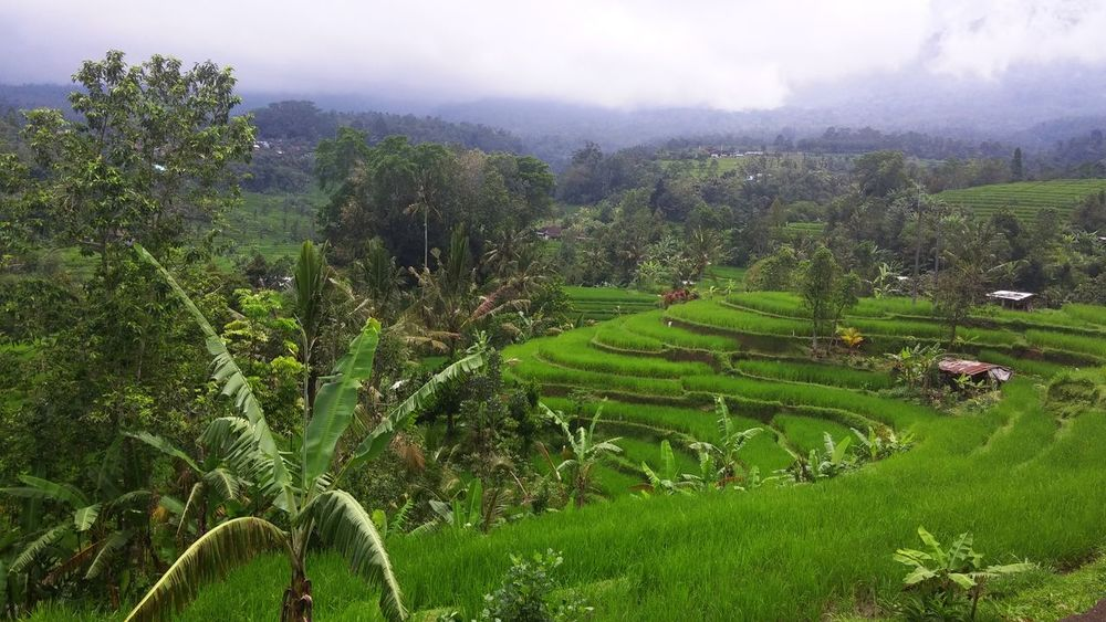 Rice Paddy in Bali Midlands [SP] ~ Agriculture Bali Beauty In Nature Day Farm Field Foggy Morning Green Color Growth Landscape Mountain Nature No People Outdoors Plant Rice Paddy Rural Scene Scenics Terraced Field Tranquil Scene Tranquility Tree