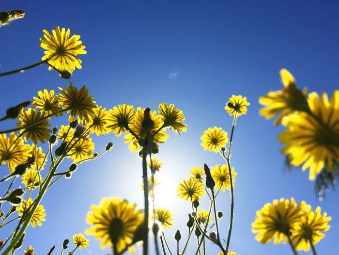 Low angle view of yellow flowers blooming against sky