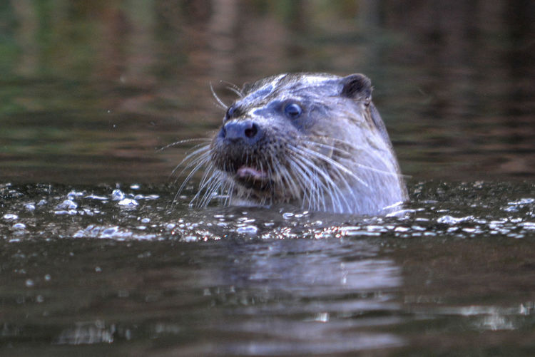 Otter River Caldew Animal Themes Animal Wildlife Animals In The Wild Mammal One Animal Otters Swimming Water