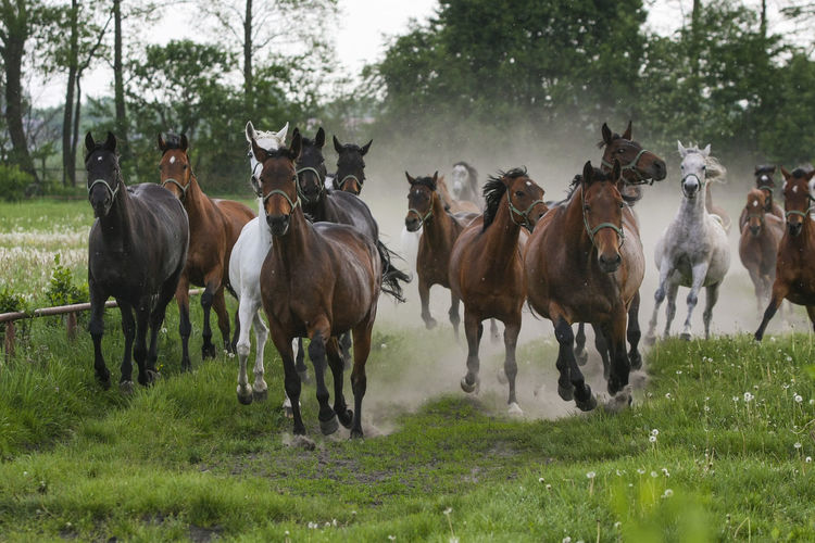 Animal Themes Arabian Horses Domestic Animals Field Gallop Galloping Grass Herd Of Horses Horse Horse Stud Horses Large Group Of Animals Mammal Nature No People Outdoors