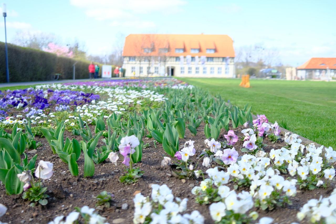 PURPLE FLOWERING PLANTS ON FIELD BY BUILDING