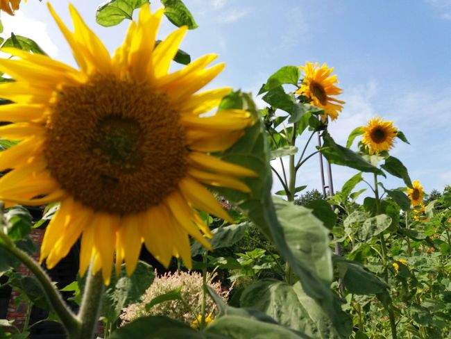 Sunflower Sunflower Flower Yellow Nature Day Artistic Photo Weather Beauty In Nature Relax Chillout No People Sunny Day Yellowflower Yellow Color