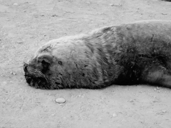 Relaxing Sleeping Enjoying Life Animals Motorola Photography Cheese! Lobo Marino Chile Nature Mar Black And White