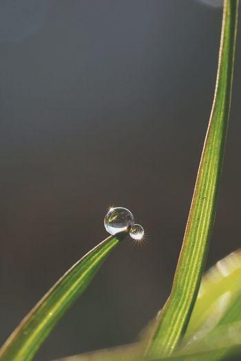 親子しずく?😁 しずく 雫 Plants 🌱 Water Drops Macro Macro Photography Bokeh Taking Photos From My Point Of View Sony Fe 90mm F2.8 Macro G Oss SONY A7ii Sony α♡Love