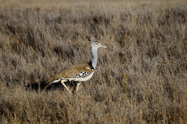 Kori bustard perching on land