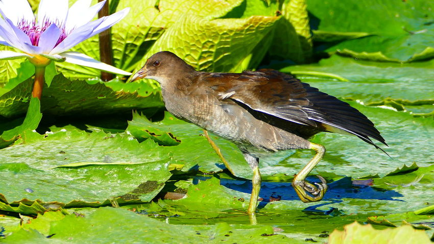 Nature Animal Themes Animals In The Wild Leaf Green Color One Animal Outdoors No People Close-up Day Beauty In Nature Bird Water Freshness Lilly Pad Water Flowers Wilhelma
