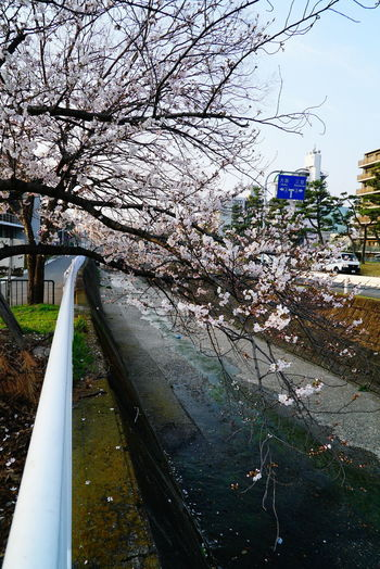 Cherry Blossom Cherry Blossoms EyeEmNewHere Morning Riverside Day Pipe - Tube Sky Spring Spring Is Coming  Sskycloudc Street Streetphotography Water