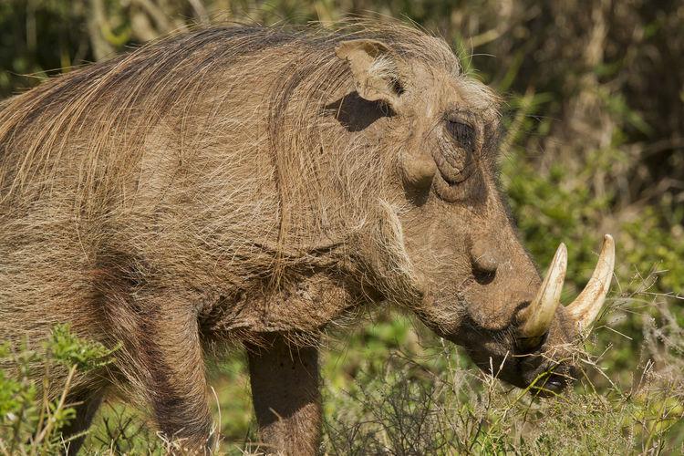 Close-up of warthog