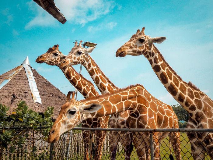 Looking for Food Coron, Palawan Travel EyeEmNewHere Eye4photography  Vivid Animals In The Wild Giraffe Head Earth Philippines Tree Giraffe Safari Animals Sky Close-up Animal Neck Animal Markings