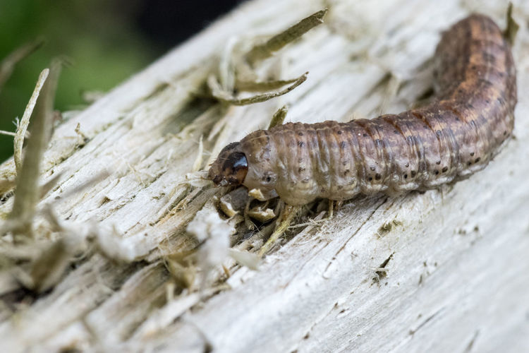 Caterpillar Close Up Close-up Day Decking Horiontal Insect Macro Nature No People Outdoors Selective Focus Wood