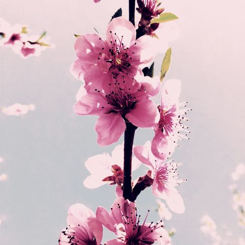 цветы розовый цветок Вишня розовое дерево 🍒cherries