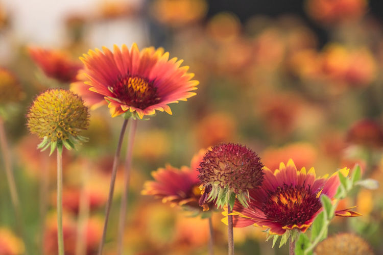 Close-up Flower Flowering Plant Freshness Plant Growth Fragility Beauty In Nature Vulnerability  Flower Head Inflorescence Petal Focus On Foreground No People Plant Stem Nature Field Land Selective Focus Day Outdoors Pollen