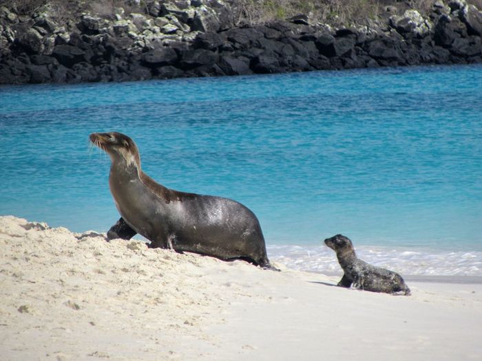 Baby sea lion & mom Beach Animal Wildlife Animal Themes Sand Sea Day Mammal Nature Baby Animals Outdoors No People Sea Lion Water Aquatic Mammal Beauty In Nature