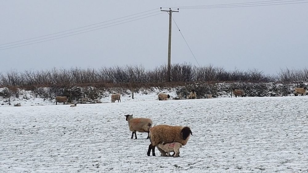 Sheep in the snow EyeEm Selects Oil Pump Snow Cold Temperature Winter Snowing