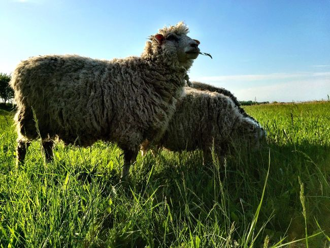 Sheep🐑 Sheeps Spring Spring Time Beautiful Enjoying Life Happiness See The World Through My Eyes Animals Domestic Animals Nature's Diversities