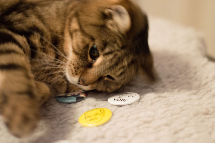 Tabby cat playing with election buttons, Austrian presidential election 2016, #VdB #mehrdennje Cats Cats Of EyeEm Cats4vdB Cat♡ Close-up Feline Indoors  Mammal No People TabbyCat