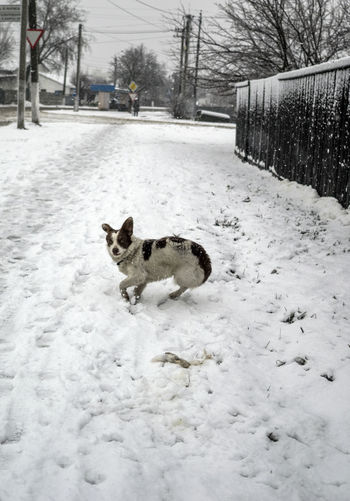 Animal Animal Themes Cold Temperature Covering Dog Domestic Animals Fence Field Frightened  Full Length Legs Mammal Nature One Animal Outdoors Pets Season  Sidewalk Snow Snowcapped Tail Weather White Color Winter Zoology