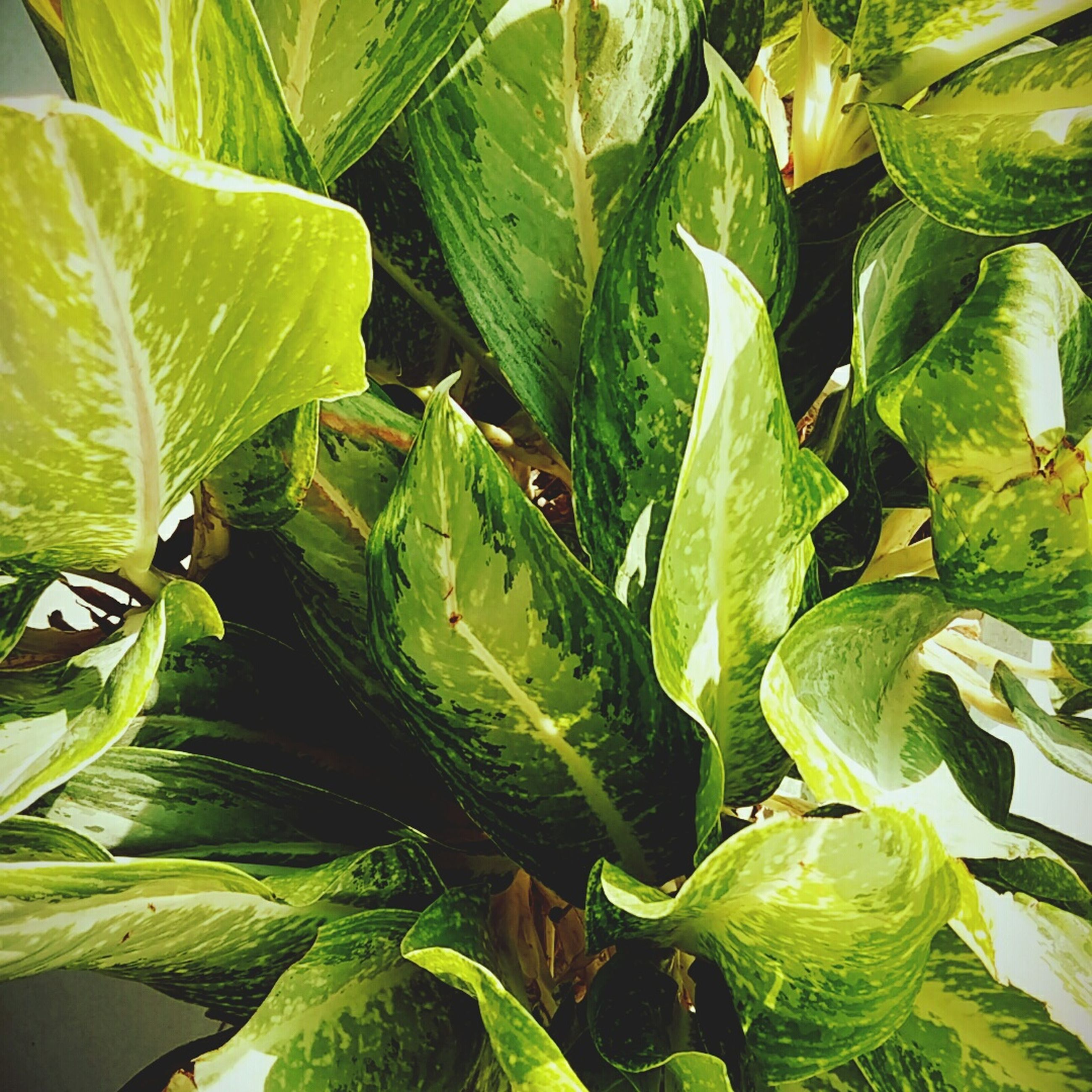 leaf, green color, plant, growth, freshness, food and drink, nature, close-up, healthy eating, vegetable, green, leaves, full frame, food, high angle view, backgrounds, beauty in nature, outdoors, no people, day