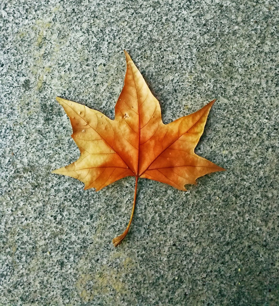leaf, plant part, close-up, nature, autumn, dry, maple leaf, change, leaf vein, no people, directly above, day, fragility, vulnerability, textured, falling, high angle view, outdoors, plant, beauty in nature, natural condition, leaves