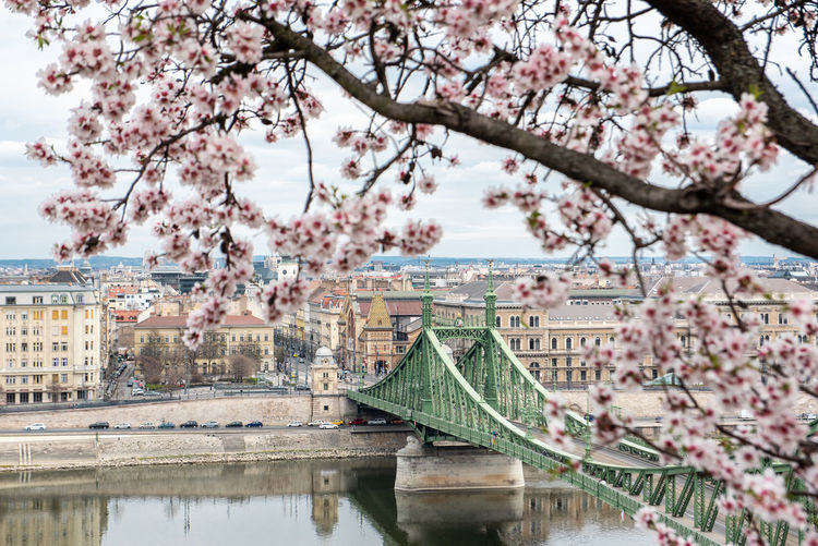 Cherry blossom tree by river in city against sky