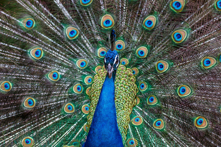 Peacock portrait! Peacock Blue Peacock Portrait Wing Animal Behavior Animal Themes Animal Wildlife Animals In The Wild Beauty Beauty In Nature Bird Blue Close-up Fanned Out Feather  Front View Green Color Multi Colored Nature One Animal Peacock Peacock Colors Peacock Feather Peacock Feathers Peacockphotos Showing