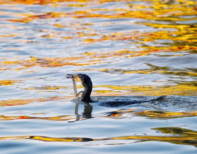 Fishing Cormorant  Bird Photography Conservation Nikon Life Light And Shadow Nature Frathers Water Animal Themes Animals In The Wild Animal One Animal Animal Wildlife No People Nature Bird Day Vertebrate Lake Swimming Outdoors Animal Body Part Motion My Best Photo