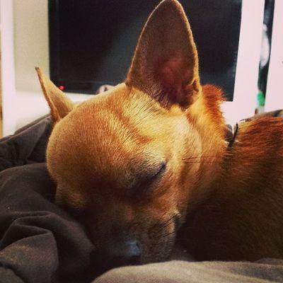 Lazy pup Snuggles MyFave Dailyzigga Ziggysmalls
