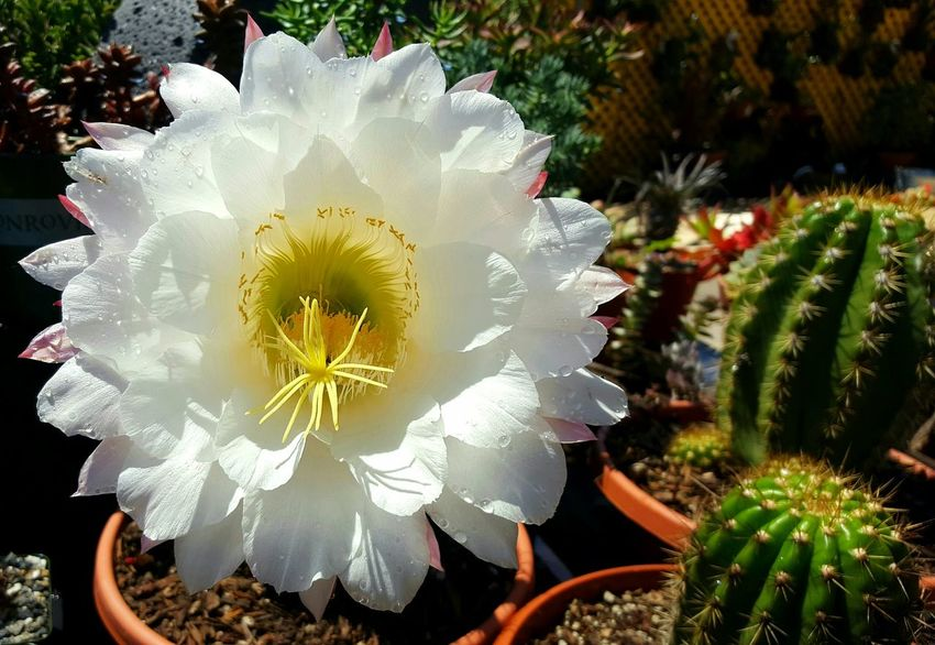Cactus flower Flowers Cactus Cactus Flower Cactuslover Nature Beauty In Nature No People Close-up Freshness Blooming