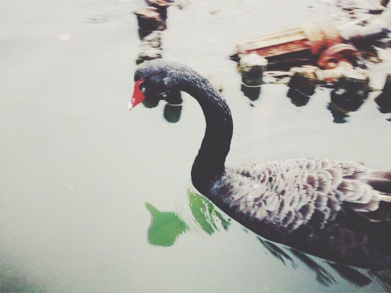 Better Together Black Swans Good nite~ 😊