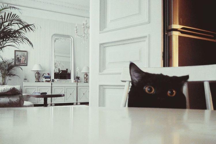 Любопытный котяра котэ британец Pets British Cat
