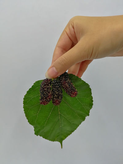 Mulberry Mulberry Blackberry Blueberry Eat Background Summer Sour Fresh Vegetarian Macro Colorful Floral Eating Ripe Nature Berry Blackandwhite Fresh Food Food Cook  Food And Drink Cooking Human Hand White Background Studio Shot Leaf Fruit Healthy Lifestyle Holding Women Hand