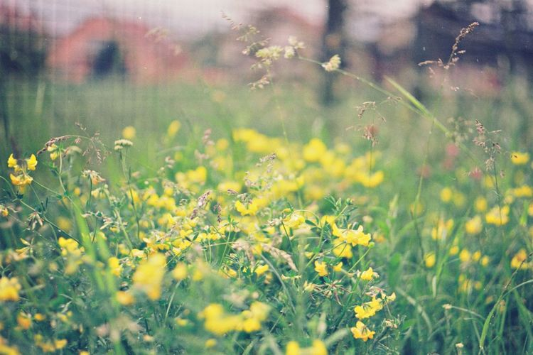 Yellow flowering plants on field