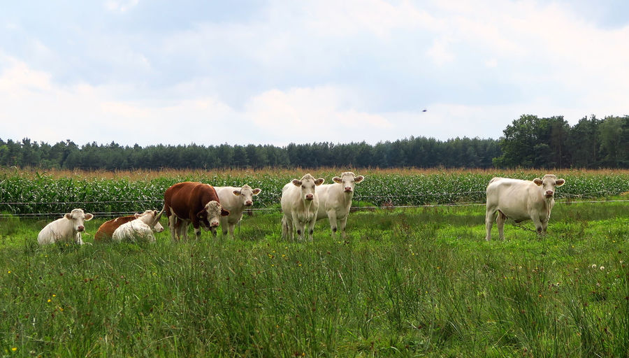 Scenic View Of Cattle Grazing On Grass Area Against Cloudy Sky
