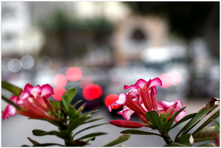 Frühling in Muskat PENTAX KP Streamzoofamily Wüstenrose For You ;-) Details Of My Life Oman_photography Oman 🇴🇲 Flower Head Flower Red Pink Color Close-up Plant Stories From The City