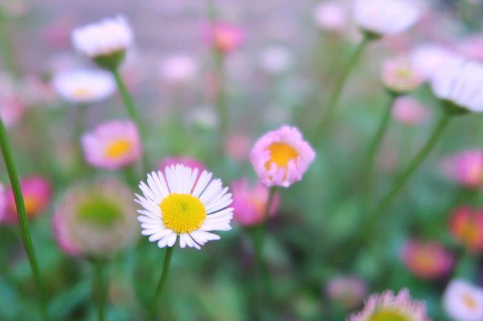 花 春 草花 ピンク 白 緑 Flower Flower Head Petal Fragility Freshness Close-up Nature Beauty In Nature Growth Springtime Beauty In Nature Nature Pink Flower White Color Green Color White Flower Pink Color Focus On Foreground 写真好きな人と繋がりたい