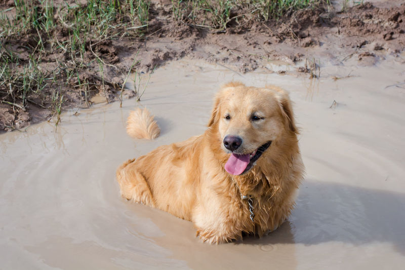Fun golden retriever dog playing in the mud. Adventure Animal Ball Cooling  Countryside Cute Dirt Dirty Dog Domestic Forest Fun Golden Happy Heat Hike Look Mammal Messy Mud Muddy Nature Outdoor Outside Park Paws Pet Play Playful Portrait Puddle Pure Retriever Road Sitting Vertical Water Wet Yellow Golden Retriever