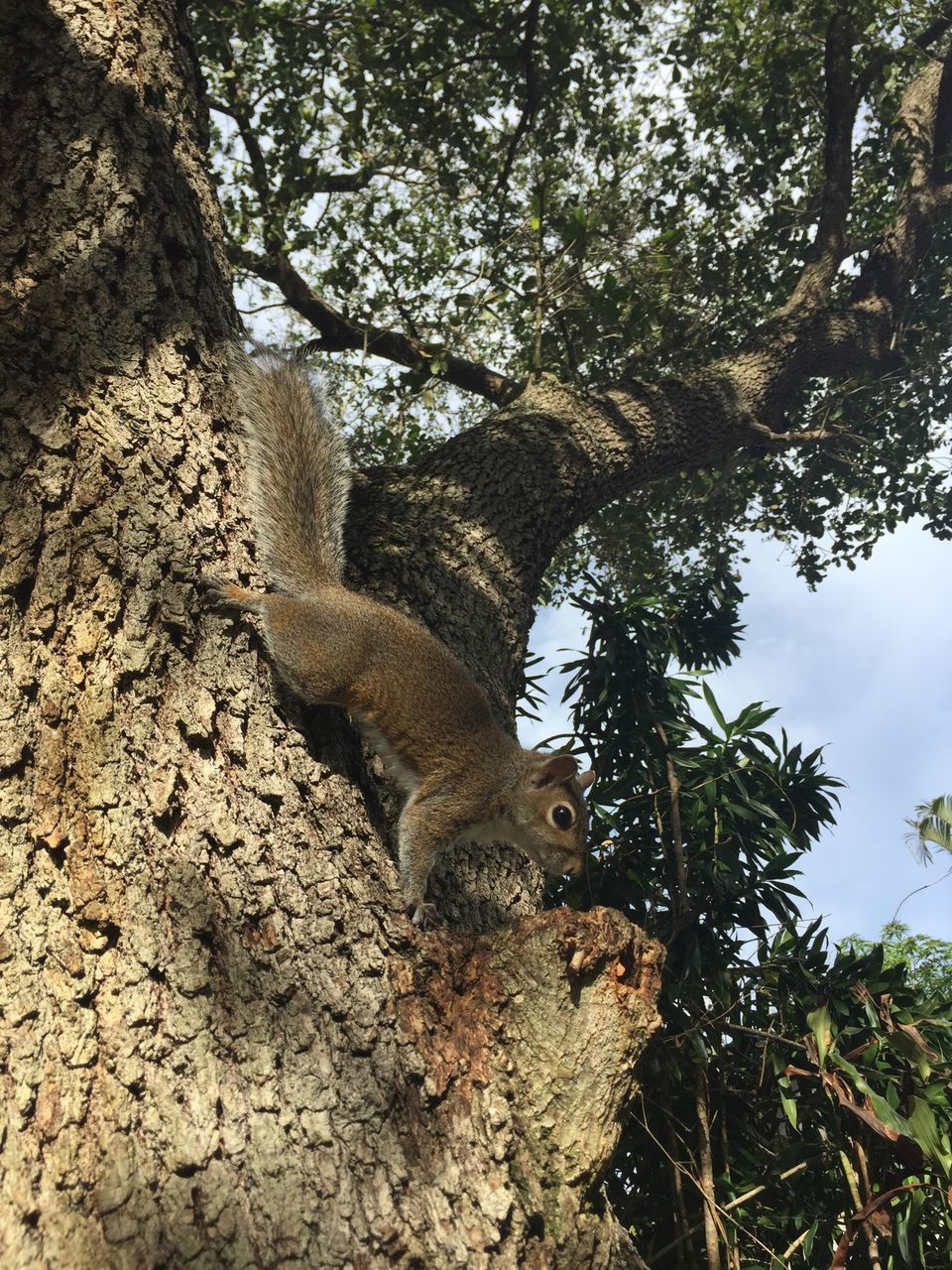 tree, animals in the wild, animal themes, one animal, nature, day, animal wildlife, no people, mammal, low angle view, outdoors, branch, squirrel, koala, close-up, sky