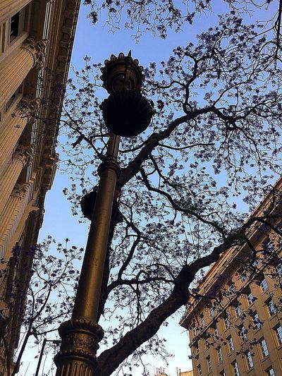 Amor eterno a los Jacarandas. Buenos Aires Caba City Tree Day