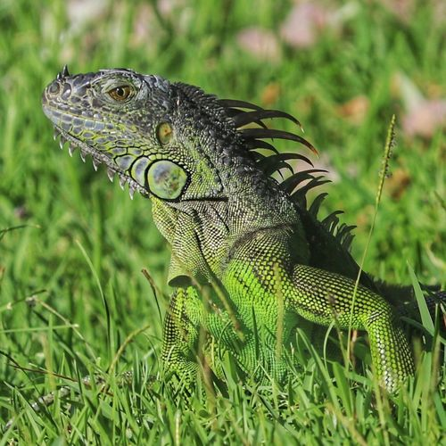 Reptile One Animal Animals In The Wild Animal Themes Focus On Foreground Green Color Animal Wildlife Outdoors Day Grass No People Close-up Nature Iguana
