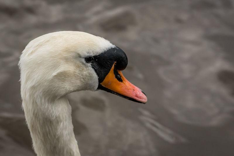 Close-up of swan