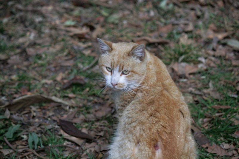 Day Domestic Animals Domestic Cat Feline Focus On Foreground Ginger Cat Looking At Camera Mammal Outdoors Pets Portrait Sitting Pet Portraits