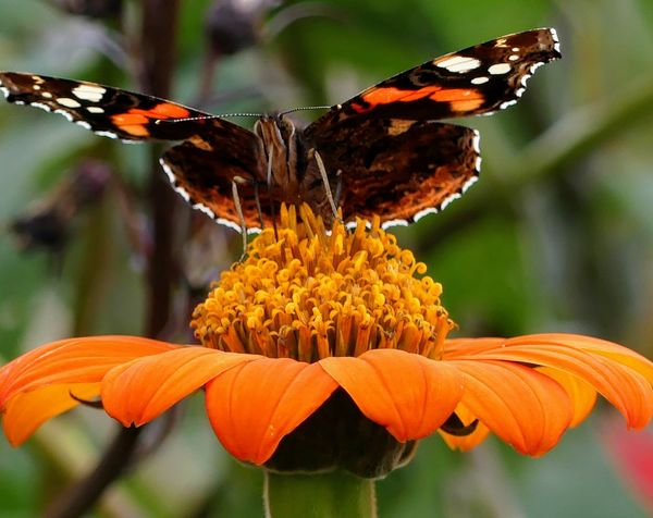 Flower Insect Butterfly - Insect Fragility Beauty In Nature Animals In The Wild One Animal Orange Color Orange Flower Orange Butterflyfreshness No People Animal Wildlife Plant Focus On Foreground Animal Themes Nature Day Outdoors Close-up Pollination Flower Head Perching EyeEmNewHere
