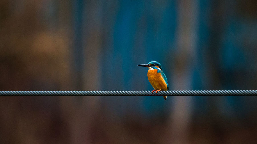 Common kingfisher perching on rope