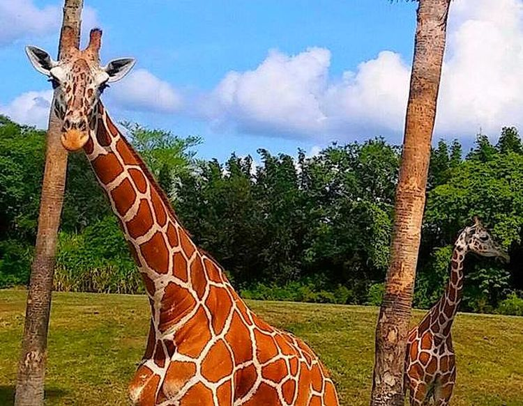 Giraffes! Looking At Camera Mommy And Baby Outdoors Paterns In Nature PicturePerfect Safari Animals Zoology