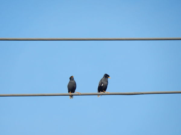 Bird Animal Wildlife Animals In The Wild Animal Themes Cable Perching Clear Sky Connection Day No People Songbird  Nature Outdoors Myna Electric Wire Low Angle View Clear Sky