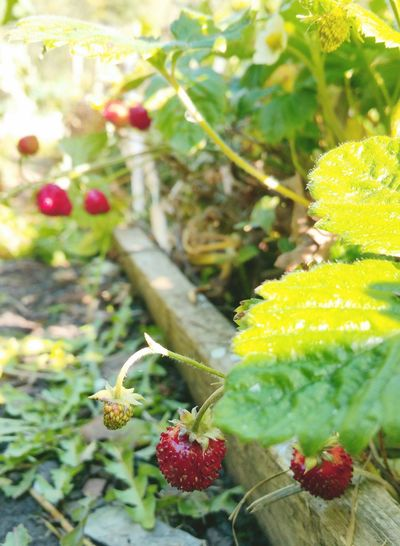 ... there are still some Strawberries within Allotment Wilds... Close-up Fruit Plant Red Strawberry Berries Autumn Fall Garden Growing Food земляника огород Allotment Fresca