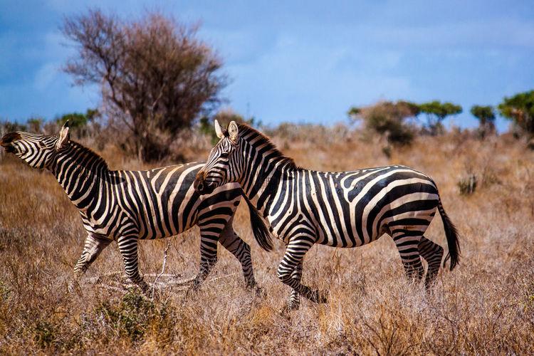 Zebras On Field Against Sky At National Park